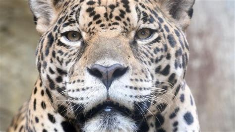 Jaguar Pics by Saving Endangered Jaguars In Mexico One Photo At A Time