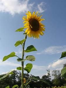 Aufbau Einer Blume : sonnenblume wikipedia ~ Whattoseeinmadrid.com Haus und Dekorationen