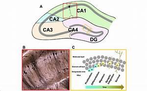 Hippocampal Regions  Strata  And Neurogenesis  A Diagram