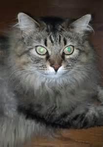 domestic longhair cat lost cat domestic hair in mechanicsburg pa lost my