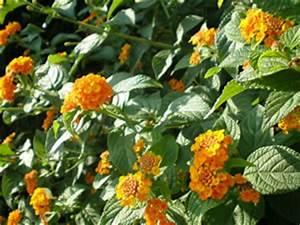 Schmucklilie überwintern Gelbe Blätter : wandelr schen lantana camara pflege und berwintern ~ Eleganceandgraceweddings.com Haus und Dekorationen