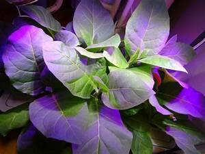 Pflanzen Für Raucher : special tabak und immer wieder bl ht der tabak ~ Markanthonyermac.com Haus und Dekorationen