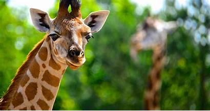 Giraffe Animal Jirafa 4k Ultra Animals Wallpapers
