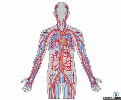 Circulatory System Title
