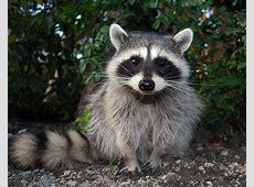Neugieriger Waschbär Foto & Bild tiere, wildlife