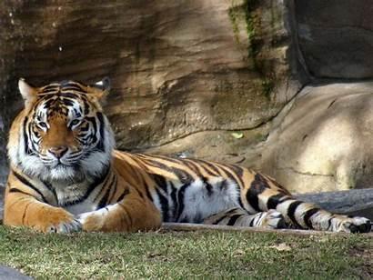 Tigres Tiger Alphacoders Guardado Desde