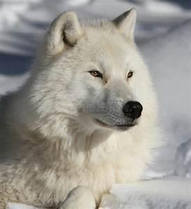 white, wolf, stock, image, , image, of, colours, , dominant