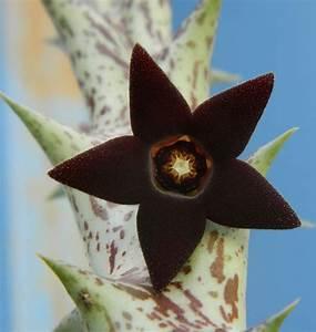 Euphorbia Trigona Vermehren : 25 sch ne exotische zimmerpflanzen ideen auf pinterest indoor bl hende pflanzen ~ Orissabook.com Haus und Dekorationen