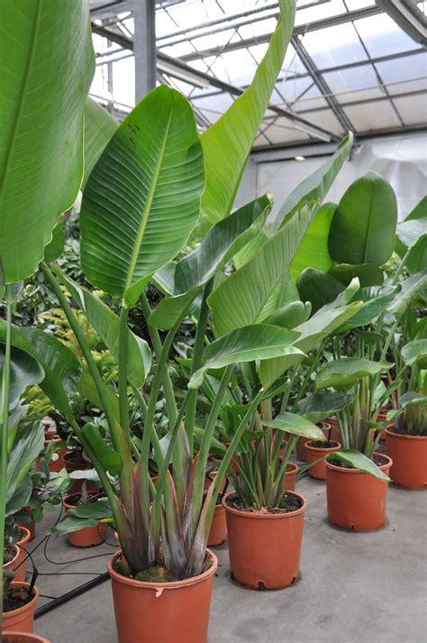 strelitzia nicolaiweisse paradiesvogelblume lieferhoehe ca cm mit topf lux indoor garden