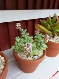 succulent centerpieces flowering succulent plants succulent succulents