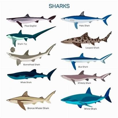 Sharks Types Shark Different Species Kind Fish