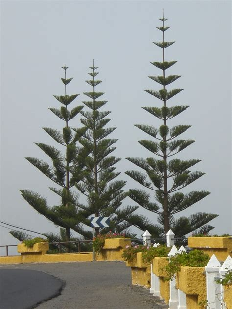 spanish evergreen trees