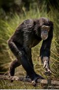 Chimpanzees Walking