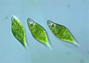 Protist Images  Euglena Anabaena