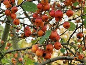 Arbre A Fruit : binicaise mini pommes ~ Melissatoandfro.com Idées de Décoration