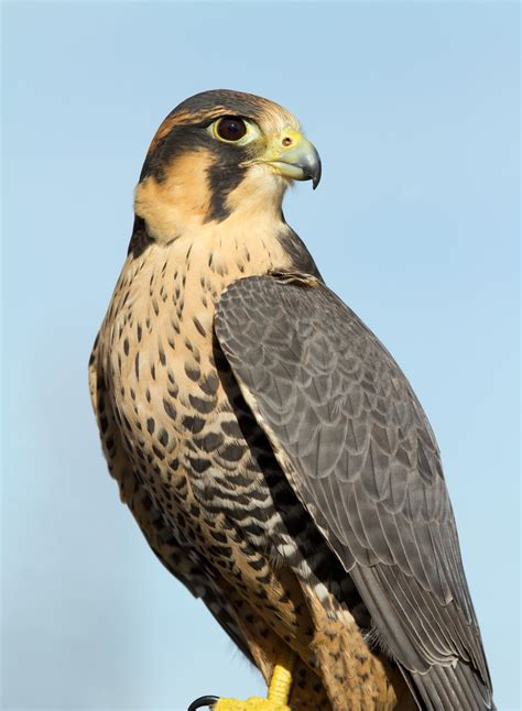 The meaning and symbolism of the word - Falcon