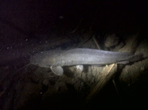 hito catfish philippines freshwater native clarias batrachus tagalog clarius taste fishing