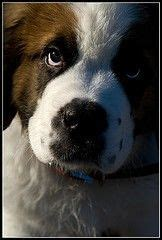 do bernard dogs shed 17 best ideas about st bernards on st bernard