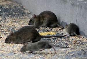 Comment Se Debarrasser Des Rats : tout sur le rat ~ Melissatoandfro.com Idées de Décoration