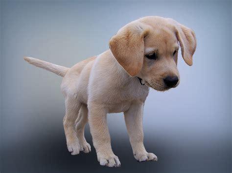 feeding  labrador puppy dog food smart