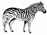 Zebra Coloring Pages Animals Animal Sheet sketch template