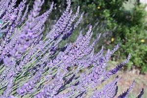 Plant De Lavande : lavandin ou lavande identifi e lavande ~ Nature-et-papiers.com Idées de Décoration