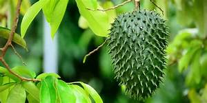 with miraculous benefits to your health soursop medicinal benefits of soursop known as