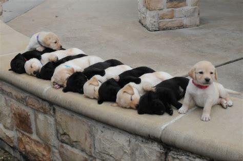 List Of Dogs That Shed Very Little by How You Can Tell They Will Grow Up To Be Good Guard Dogs