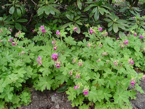 perennial geranium black gold fall perennial strategies black gold