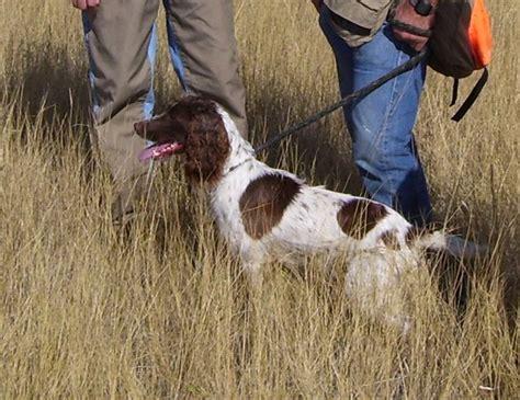 Field Springer Spaniel Shedding by Field Springer Spaniel Images