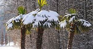 Pflanzen Zur Luftbefeuchtung : palmen im winter die hanfpalme im garten oder als zimmerpflanze beides bild 3 palmen im winter ~ Sanjose-hotels-ca.com Haus und Dekorationen