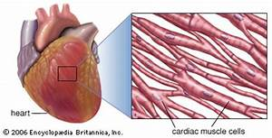 human cardiovascular system | anatomy | Britannica.com