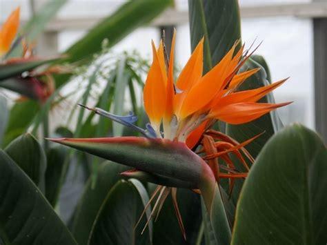 fiore sterlizia uccello paradiso strelizia alba strelizia alba