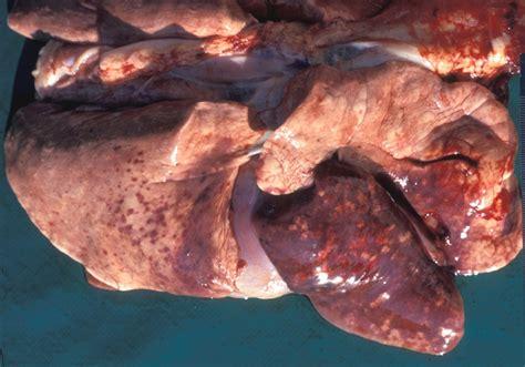 ehrlichia in dogs ehrlichiosis 171 disease images 171 cfsph