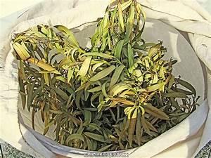 Oleander Hat Gelbe Blätter : oleander r ckschnitt oleander zur ckschneiden so gelingt ~ Lizthompson.info Haus und Dekorationen