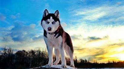 Dog Breeds Husky Cool Wallpapers Need Know