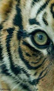 Eye of the Tiger. Cincinnati Zoo | Cincinnati zoo ...