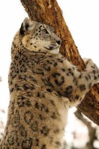 Snow Leopard Big Cats