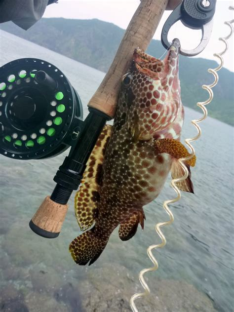 grouper ishigaki fish hata honeycomb fishing fly kanmon bloch japan saltwater club tokyoflyfishing 1793