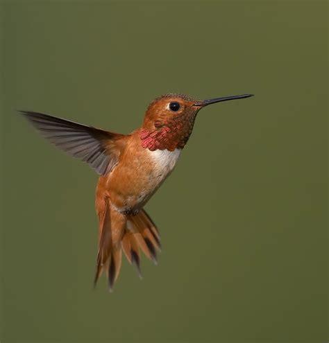 rufous hummingbirds are on the way birdnote