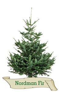 real christmas trees glasgow premium christmas trees real christmas trees glasgow 4259