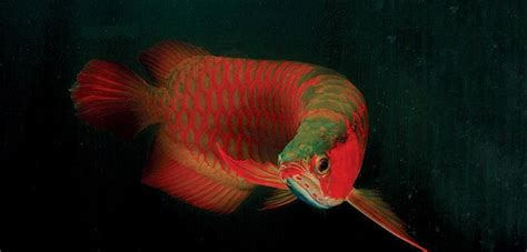 buy king super red arowana    shipping buy
