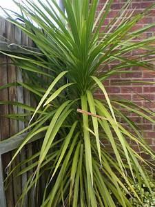 Yucca palme 26 fantastische bilder zur inspiration for Whirlpool garten mit yucca palme zimmerpflanze