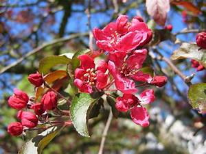 Baum Mit Blüten : unbekannter baum rote langgestielte bl ten malus cv ~ Frokenaadalensverden.com Haus und Dekorationen