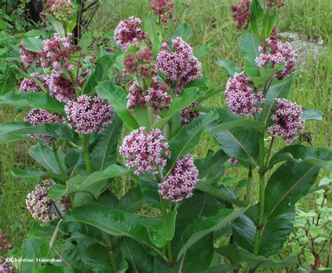 best 28 how to grow milkweed common milkweed