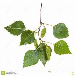 Branche De Bouleau : branche d 39 arbre de bouleau avec des feuilles et des ~ Melissatoandfro.com Idées de Décoration