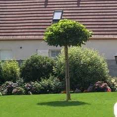 taille du pin parasol liquidambar gumball bol amberboom pot 6 8 mar 233 chal fruithaag en kruiden