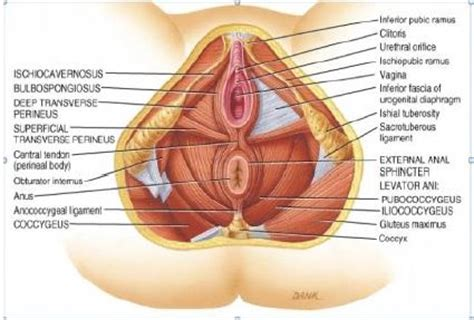 Muscles Of The Pelvic Floor by Pelvic Floor Therapy Treat Yourself Naturally