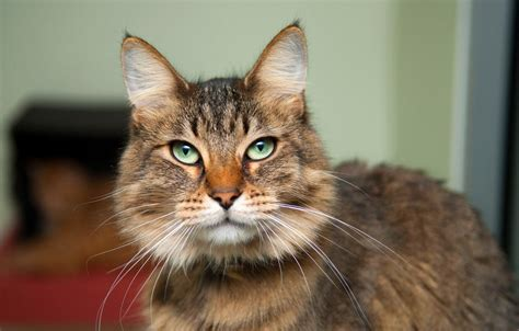 Caring For The Elderly Cat  Special Considerations
