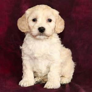 Toy Comfort Goldendoodle Pup! - I want one! | PETS ...